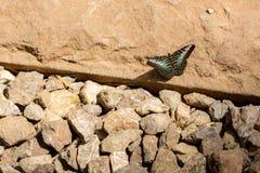 la mariposa de las podadoras (parthenos Sylvia) con el fondo de piedra Imágenes de archivo libres de regalías