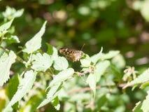 La mariposa de madera manchada se encaramó en el verano cerrado hoja de las alas - PA Fotos de archivo libres de regalías