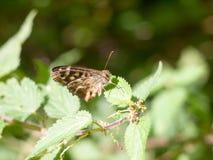 La mariposa de madera manchada se encaramó en el verano cerrado hoja de las alas - PA Fotos de archivo