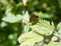 La mariposa de madera manchada se encaramó en el verano cerrado hoja de las alas - PA Fotografía de archivo
