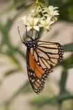 La mariposa de monarca efectúa 04 Foto de archivo libre de regalías