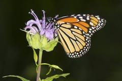 La mariposa de monarca nectaring en la flor del bálsamo de abeja de la lavanda, conecta Imagenes de archivo