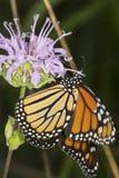 La mariposa de monarca nectaring en la flor del bálsamo de abeja de la lavanda, conecta Fotos de archivo