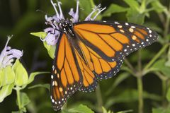 La mariposa de monarca nectaring en la flor del bálsamo de abeja de la lavanda, conecta Foto de archivo