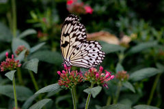 La mariposa de monarca se sienta en la flor en el jardín botánico Montreal Imagen de archivo libre de regalías