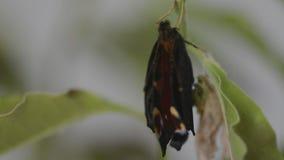 La mariposa de pavo real acaba de emerger almacen de metraje de vídeo