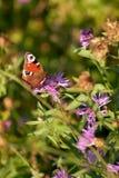 La mariposa de pavo real goza del néctar en trébol Fotos de archivo