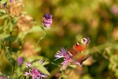 La mariposa de pavo real goza del néctar en trébol Imágenes de archivo libres de regalías