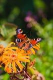 La mariposa de pavo real o el Aglais europea io Fotos de archivo