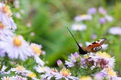 La mariposa de pavo real que se sienta en una flor Fotos de archivo