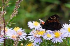 La mariposa de pavo real que se sienta en una flor Imagen de archivo