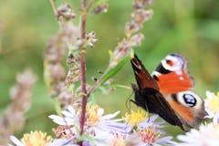 La mariposa de pavo real que se sienta en una flor Fotos de archivo libres de regalías