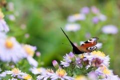 La mariposa de pavo real que se sienta en una flor Foto de archivo