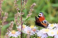 La mariposa de pavo real que se sienta en una flor Fotografía de archivo