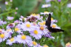 La mariposa de pavo real que se sienta en una flor Imagenes de archivo