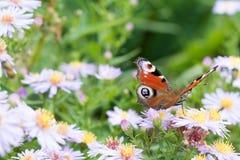 La mariposa de pavo real que se sienta en una flor Fotografía de archivo libre de regalías