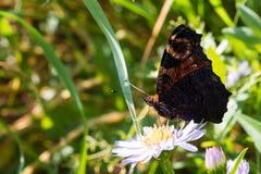 La mariposa de pavo real que se sienta en una flor Foto de archivo libre de regalías