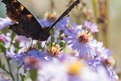 La mariposa de pavo real que se sienta en una flor Imagen de archivo libre de regalías