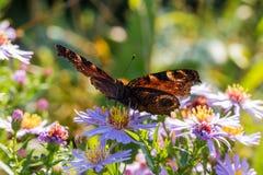 La mariposa de pavo real que se sienta en una flor Imágenes de archivo libres de regalías