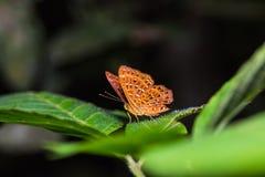 La mariposa de Punchinello Fotografía de archivo libre de regalías