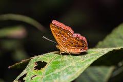 La mariposa de Punchinello Imagenes de archivo