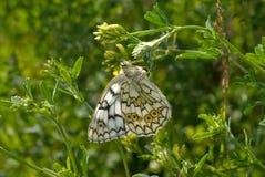 La mariposa de Satyrid imagen de archivo