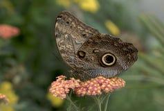 La mariposa del buho Fotos de archivo