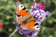 La mariposa del ojo del pavo real en la flor Fotos de archivo