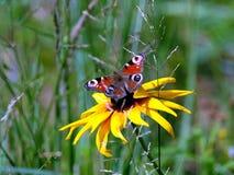 La mariposa del ojo del pavo real se está sentando en el fondo antedicho del verde de la falta de definición de la flor amarilla  Imagen de archivo
