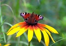 La mariposa del ojo del pavo real se está sentando en el fondo antedicho del verde de la falta de definición de la flor amarilla  Fotos de archivo libres de regalías