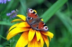 La mariposa del ojo del pavo real se está sentando en el fondo antedicho del verde de la falta de definición de la flor amarilla  Imágenes de archivo libres de regalías