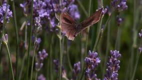 La mariposa del portero, tithonus del pyronia, chupando el néctar de Laverder florece, Normandía almacen de metraje de vídeo