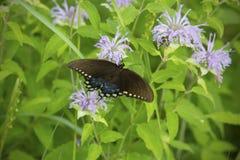 La mariposa del swallowtail de Spicebush en la bergamota salvaje florece en un prado de Connecticut Imagenes de archivo