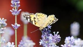La mariposa en el campo de la lavanda, polinizando florece almacen de metraje de vídeo