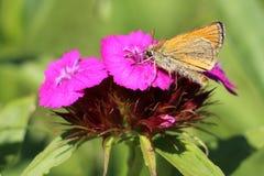 La mariposa en el clavel de la flor Imagen de archivo
