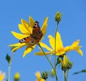 La mariposa en las flores amarillas Fotos de archivo libres de regalías