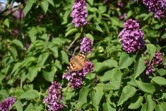 La mariposa en la lila imagen de archivo libre de regalías