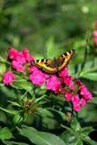 La mariposa en una flor Imagenes de archivo