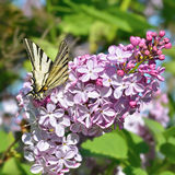 La mariposa en una lila florece Imagen de archivo