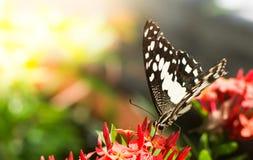 La mariposa está chupando la forma de la miel las flores en fondos borrosos Imagen de archivo libre de regalías