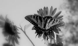 La mariposa hambrienta Foto de archivo libre de regalías