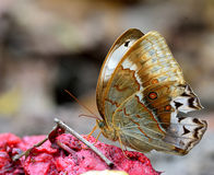 La mariposa hermosa, Camberdian junglequeen en environme natural Imágenes de archivo libres de regalías