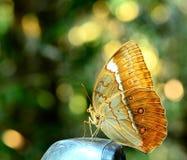 La mariposa hermosa, Camberdian junglequeen encaramarse en mirr del coche Fotos de archivo