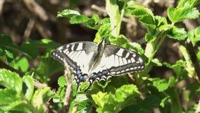 La mariposa hermosa de Swallowtail se sienta en la planta verde almacen de metraje de vídeo
