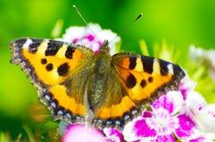 La mariposa hermosa en maravilla florece el primer Foto de archivo