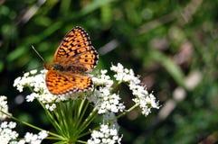La mariposa hermosa que se sienta en una flor blanca Imágenes de archivo libres de regalías