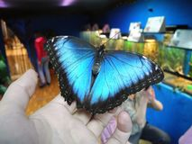 La mariposa hermosa se sienta en el finger Machaon azul y negro foto de archivo libre de regalías
