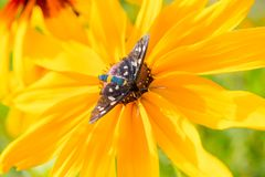 La mariposa hermosa Tiger Grass Borer se sienta en la flor colorida Foto de archivo