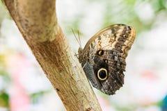 La mariposa Kaliga se sienta en un tronco de árbol Fotos de archivo