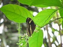 La mariposa le gusta buscar para el néctar en el árbol del paniculata o del rachavadee del buddleja en Tailandia Imágenes de archivo libres de regalías